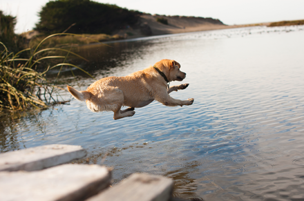 Adequan Canine dog lake jump